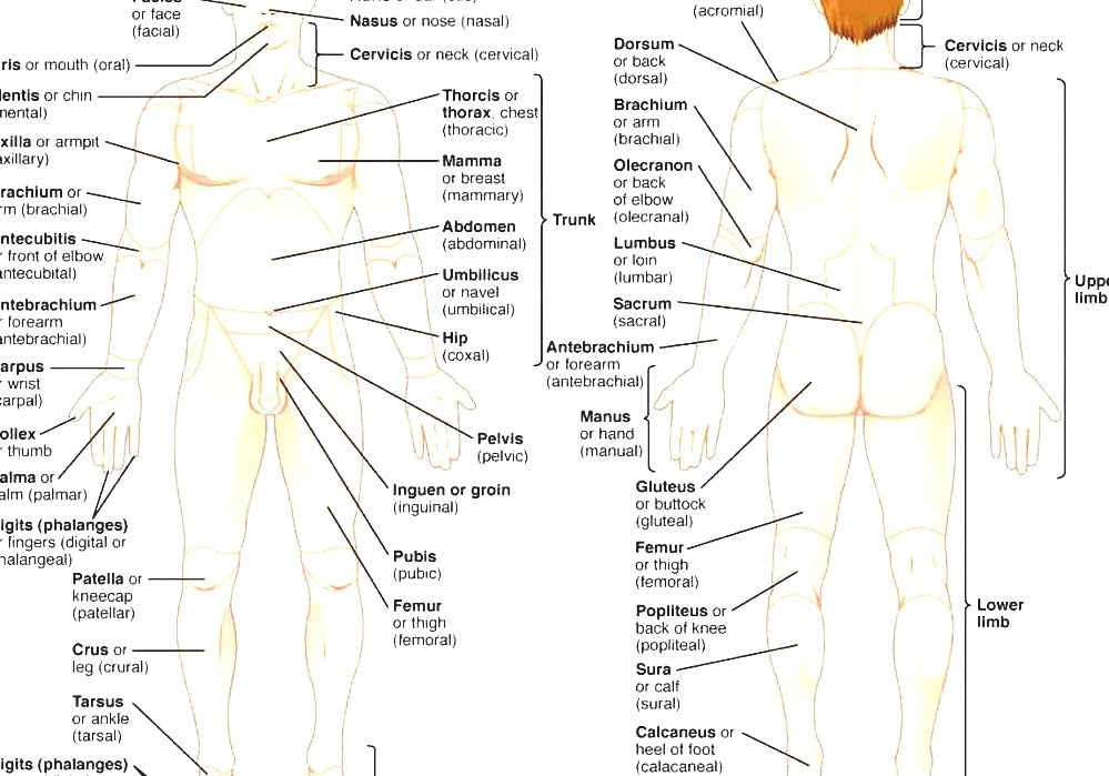 Human Body Parts Of The Human Body