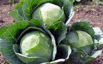 Nutrition Of Cabbage Food