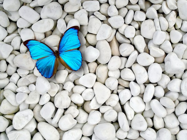 Blue Butterfly on White Stones Desktop Wallpapers