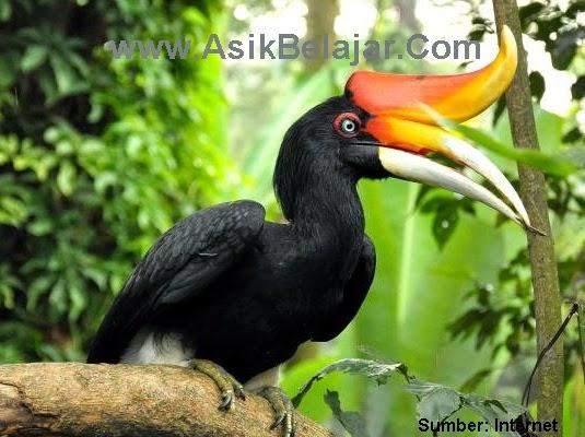 Mengenal Perilaku Burung Enggang