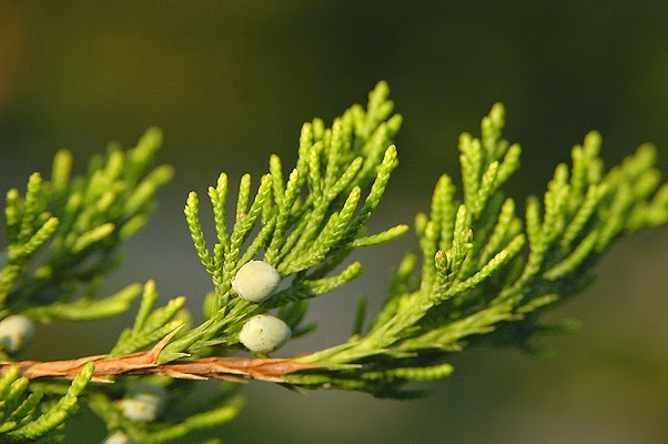 Eastern Red Cedar Varieties ~ Pinelands nursery juniperus virginiana eastern red cedar