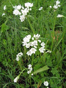 Allium neapolitanum: