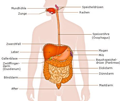 Weisheit, Wissen und Fakten: Die Leber & Gallenblasenreinigung