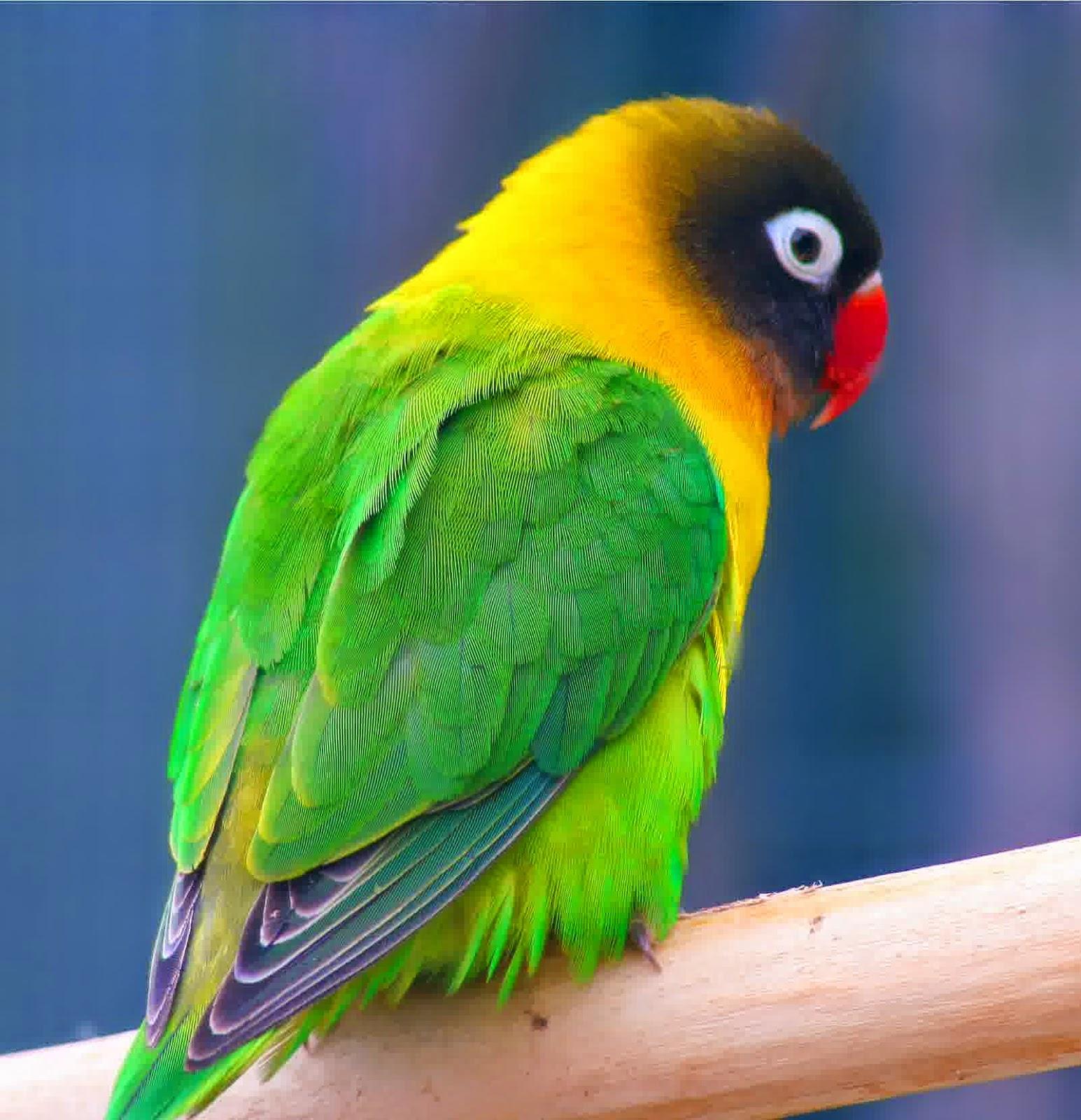 om hoby gambar jenis burung love bird