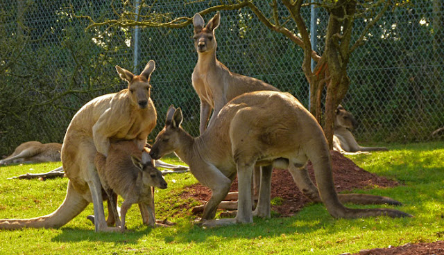 Kangaroos, marsupials, South Lakes Zoo, Cumbria