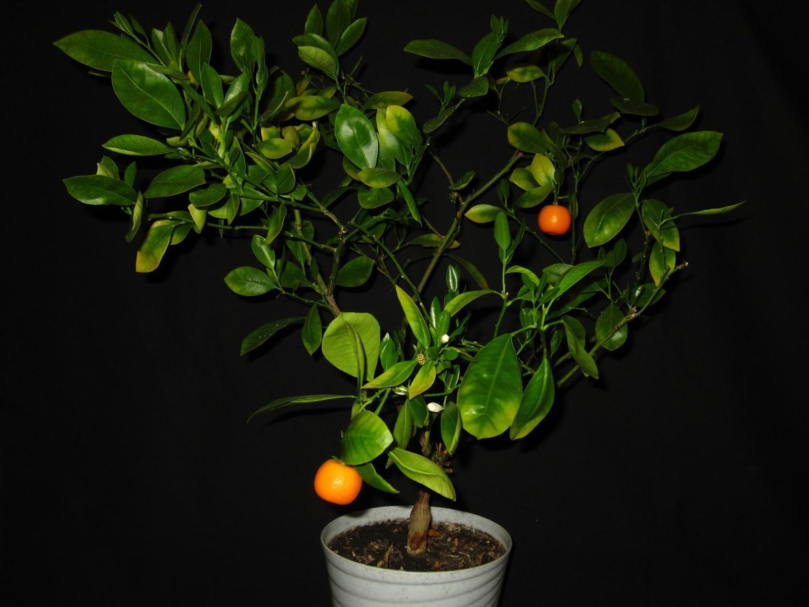 Как растут апельсины в домашних условиях
