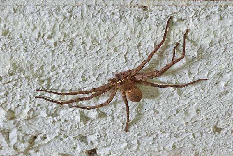 Heteropoda venatoria,Huntsman spider