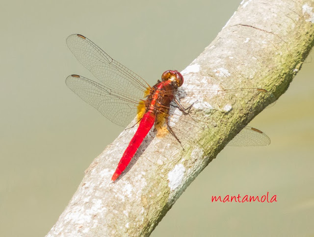 Rhodothemis rufa (Common Redbolt)