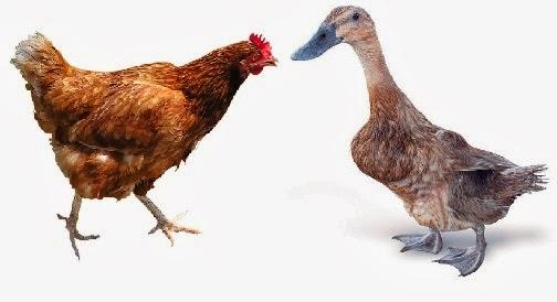 Ayam dan bebek memiliki tekanan kaki yang berbeda,  walaupun keduanya memiliki massa yang sama