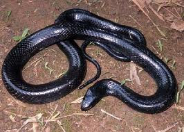 Sonhos com Cobra