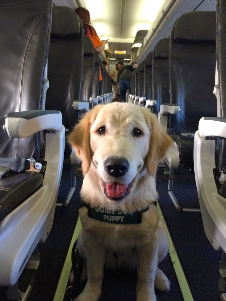 Guide dog puppy Jolene (Golden Retriever wearing her green puppy boat) sits smiling in the middle of the aisle on the plane.