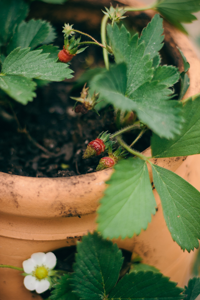Terra 39 s tune spring has sprung - Plant strawberries spring ...