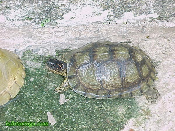 Furrowed wood turtle - Rhinoclemmys areolata