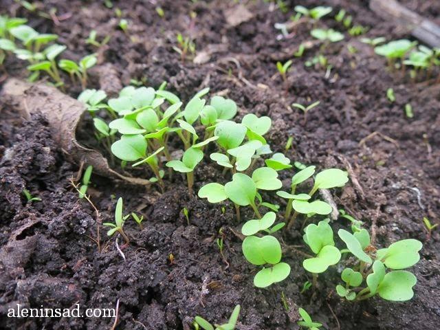 руккола, рукола, всходы, теплица, теплице, аленин сад, ранний посев,