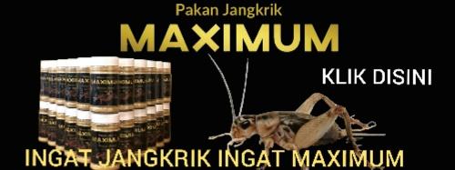 PAKAN JANGKRIK MAXIMUM