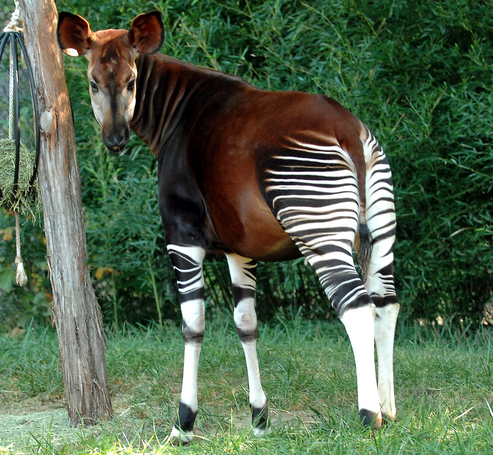 Okapi ~ Animals Images