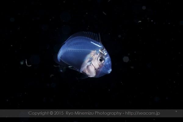 ニザダイ科の稚魚