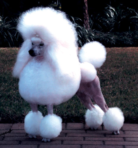 Miniature Poodle Dog Pictures | Popular Dog Breeds
