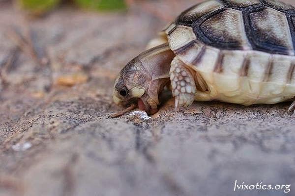 Testudo marginata weissingeri - Tortuga del Peloponeso
