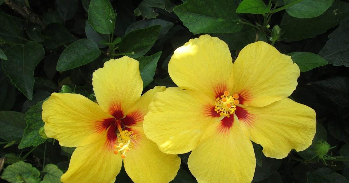 Desktop Wallpapers: Yellow Hibiscus Flowers Desktop Wallpapers