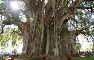 El Árbol del Tule, Tule Tree