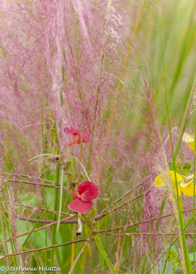image of pink grasses entwined with native wildflowers
