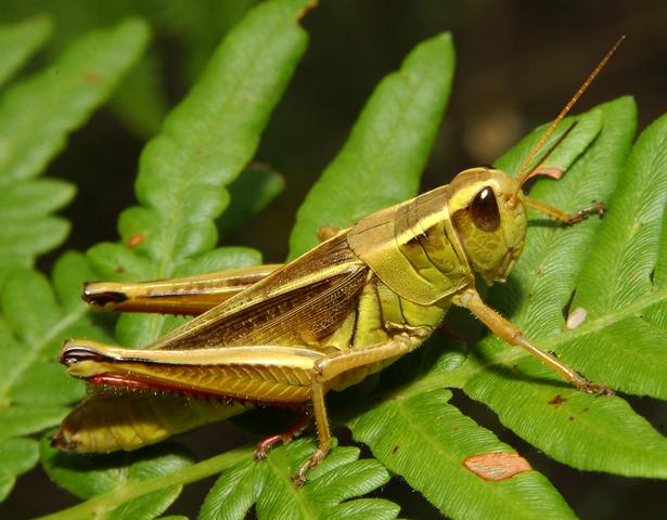 two-striped%252520grasshopper.jpg