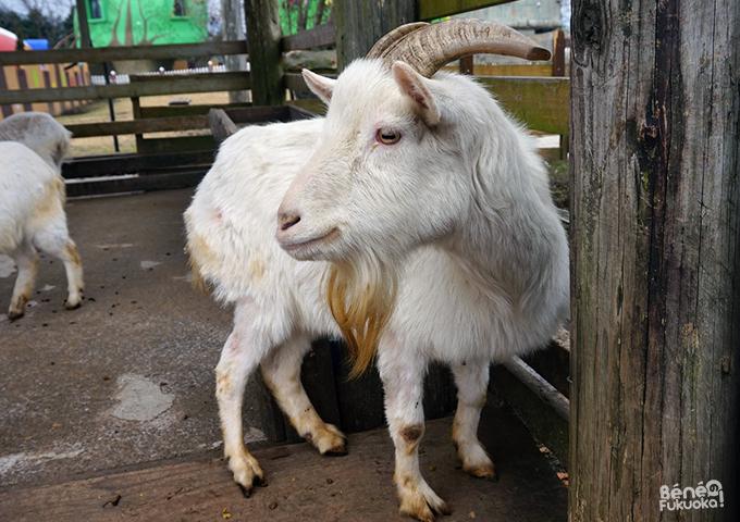 Aso Farm Land - chèvre