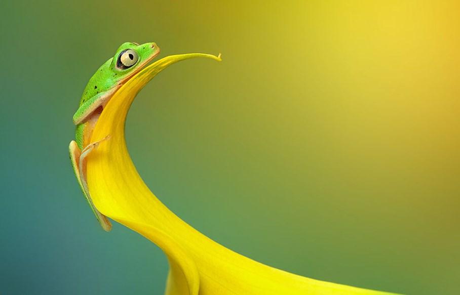 Fotografi Foto Macro Katak dan Fakta Unik Tentang Katak kuning emas