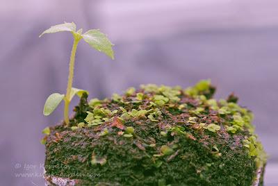 Сеянец киренгешомы корейской (Kirengeshoma koreana seedling)