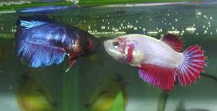 Cara Budidaya Ikan Cupang yang Baik bagi Pemula ...