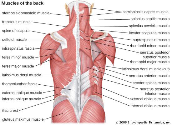 ryggens anatomi