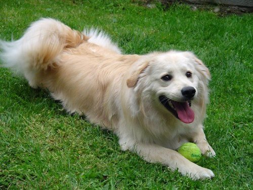 Cute Dogs|Pets: American Golden Retriever