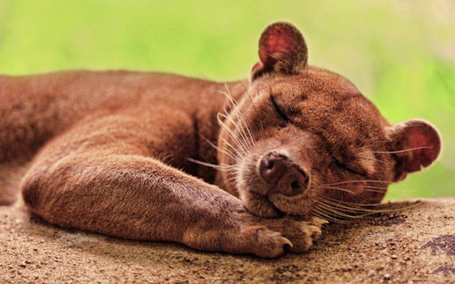 The Fossa is your is your favorite Animal