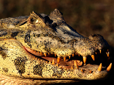 實拍鱷魚吃了電鰻的後果