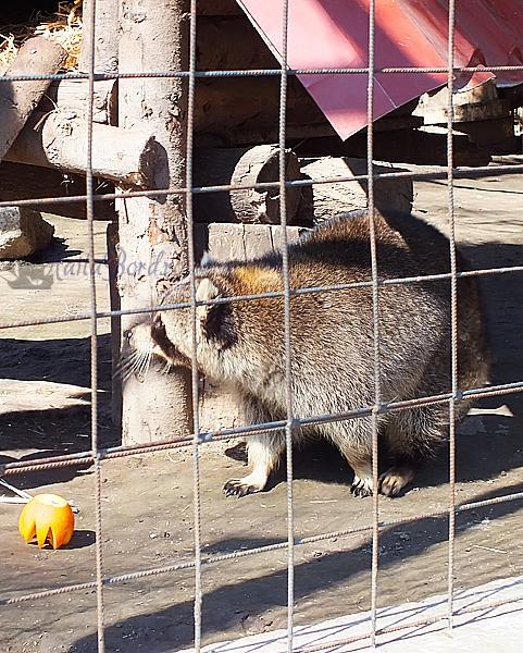 raton zoo braila