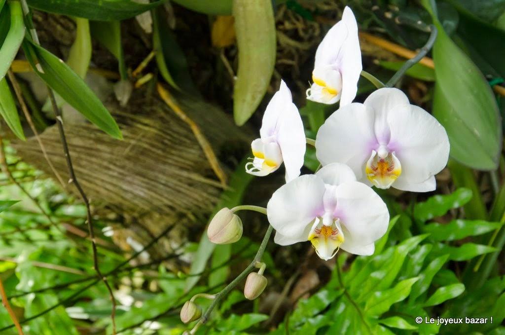 Guadeloupe  -Deshaies - jardin botanique - orchidees
