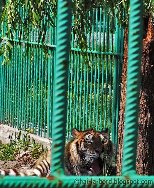 tigru zoo pitesti