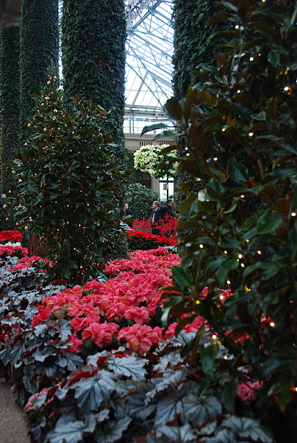 Begonia foliage and red poinsettias