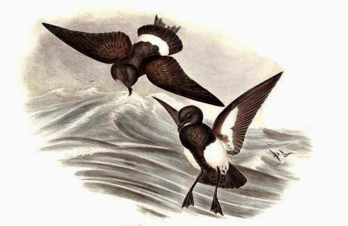 Indian birds - Blackish bellied storm petrel - Fregetta tropica