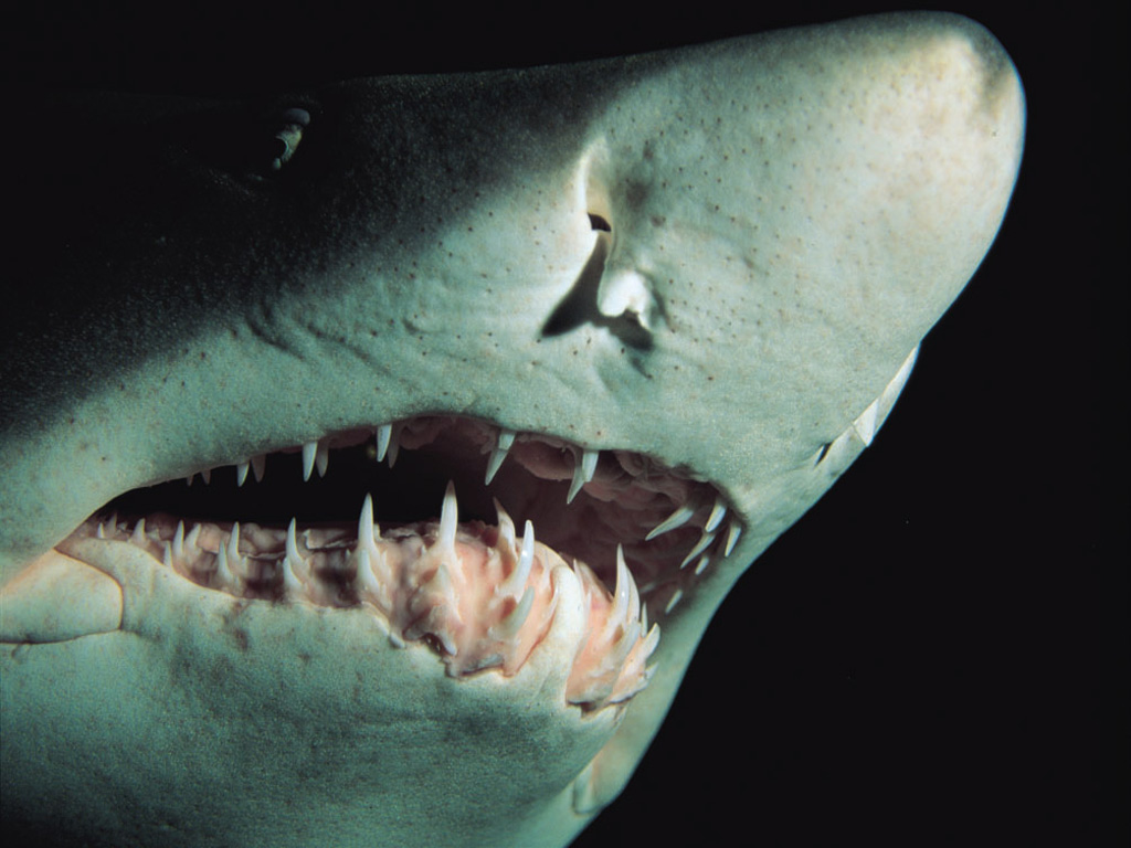 Here are some beautiful Sharks Wallpapers  Enjoy Pictures Of Sharks Teeth