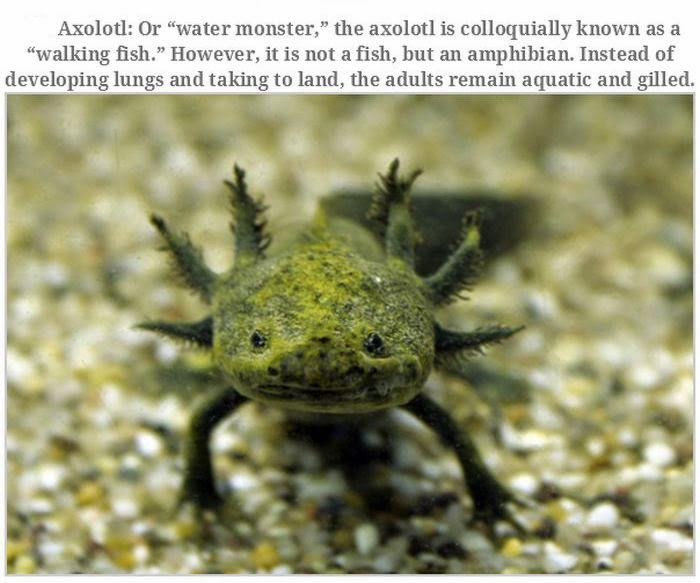 Weird animals (20 pics), strange animal pictures, axolotl