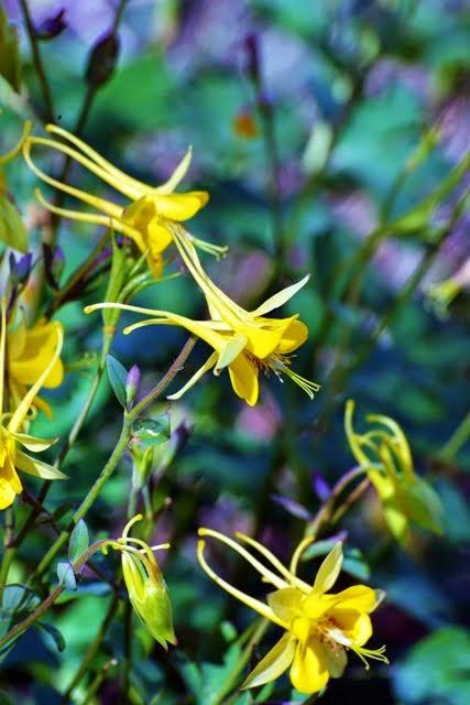 Aquilegia chrysantha var hinkleyana 6138