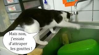 Chat noir et blanc essaie d'attraper les gouttes d'eau.