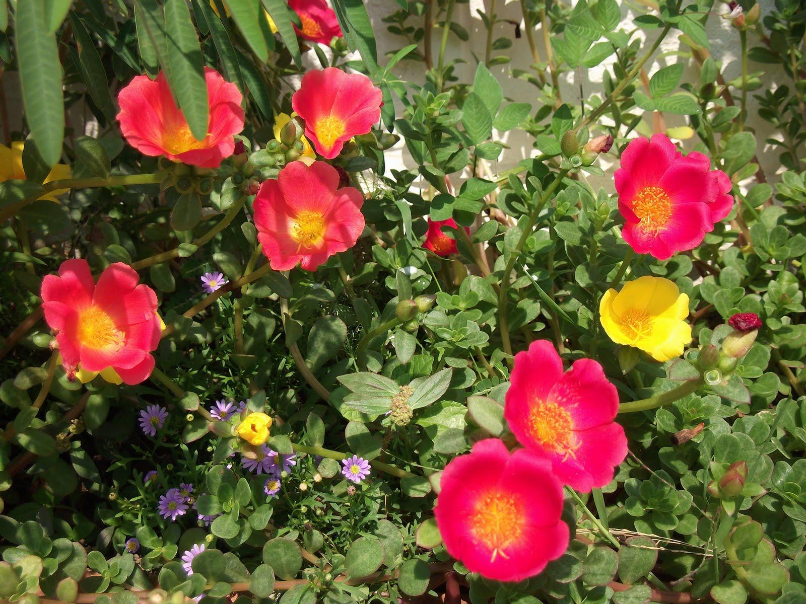 UNIQUE FLOWERS PORTULACA OLERACEA คุณนายตื่นสาย