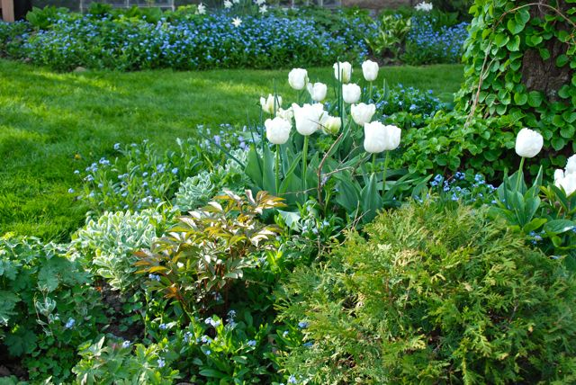 Tulip 'White Parrot' with forget-me-nots (Myosotis)  and the emerging foliage of Sedum 'Frosty Morn'