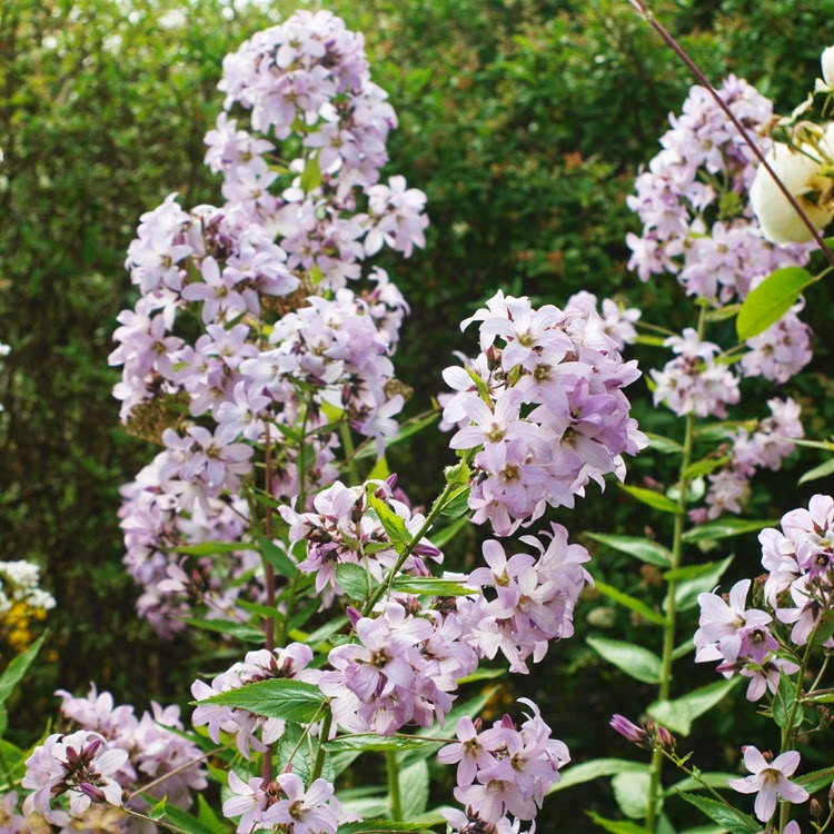 Mælkeklokke, campanula lactiflora - Staude med højde og fylde i haven. God til naturligt udtryk i havens bede