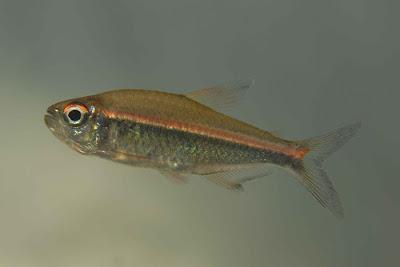 Bystrzyk trȯjpręgi - ryby akwariowe - zdjęcia cz1