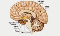 Tiroide epifisi funzioni