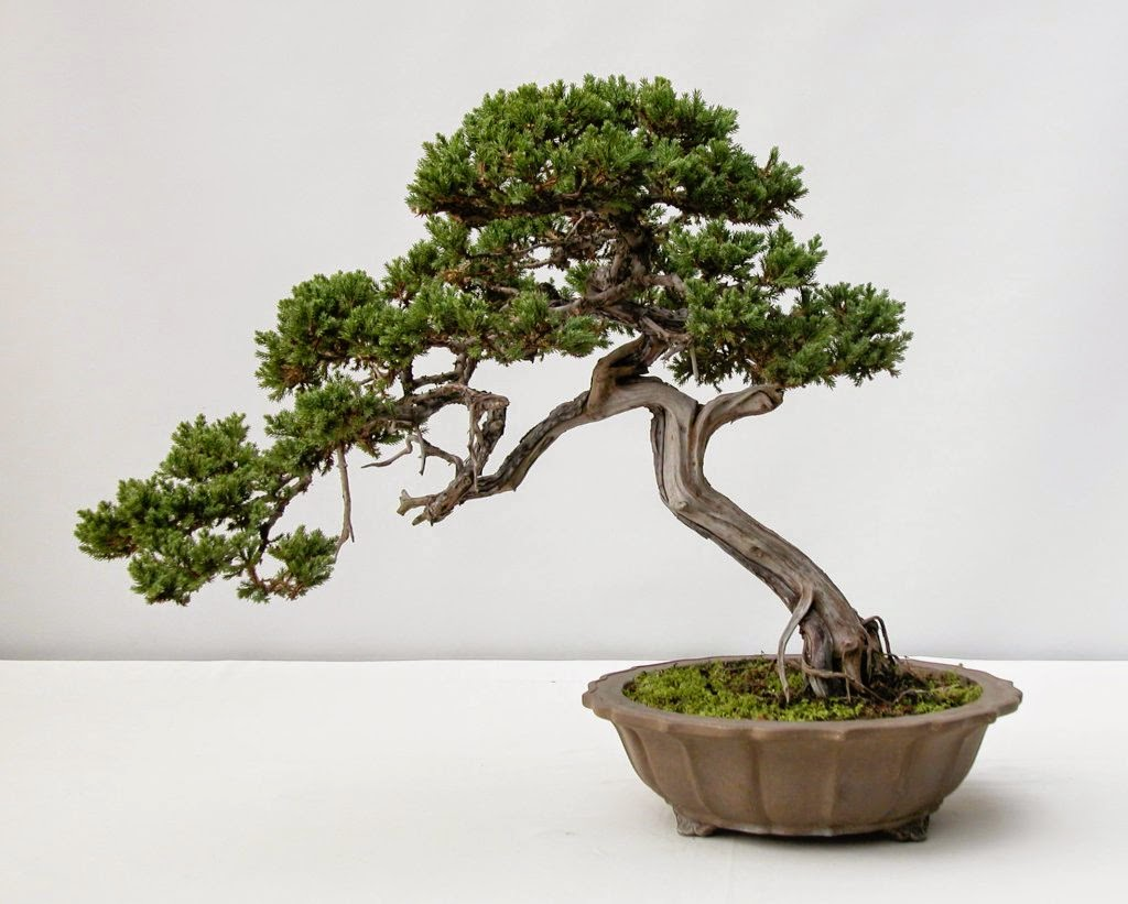 Musings From The Roost 365 True Things 58 Bonsai